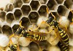 wespennest-entfernung